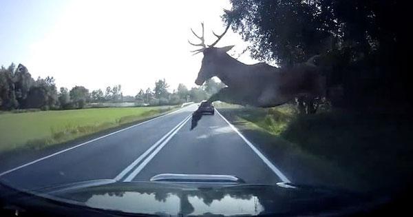 波兰一野鹿撞上飞驰汽车 结果鹿死车中司机昏迷