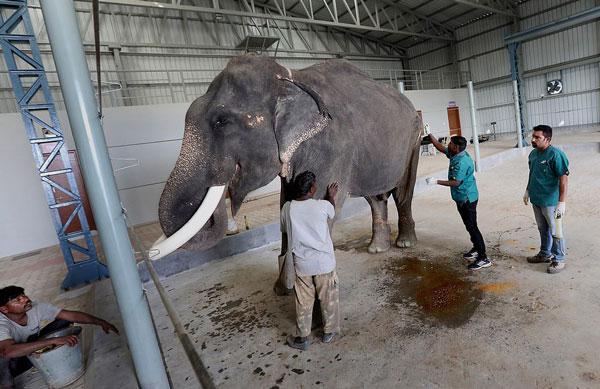 印度首家大象医院成立 拯救大象于水火之中