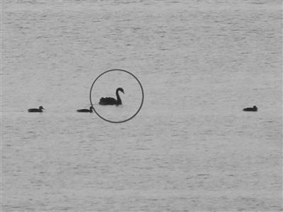 南京溧水石臼湖首次观测到黑天鹅栖息