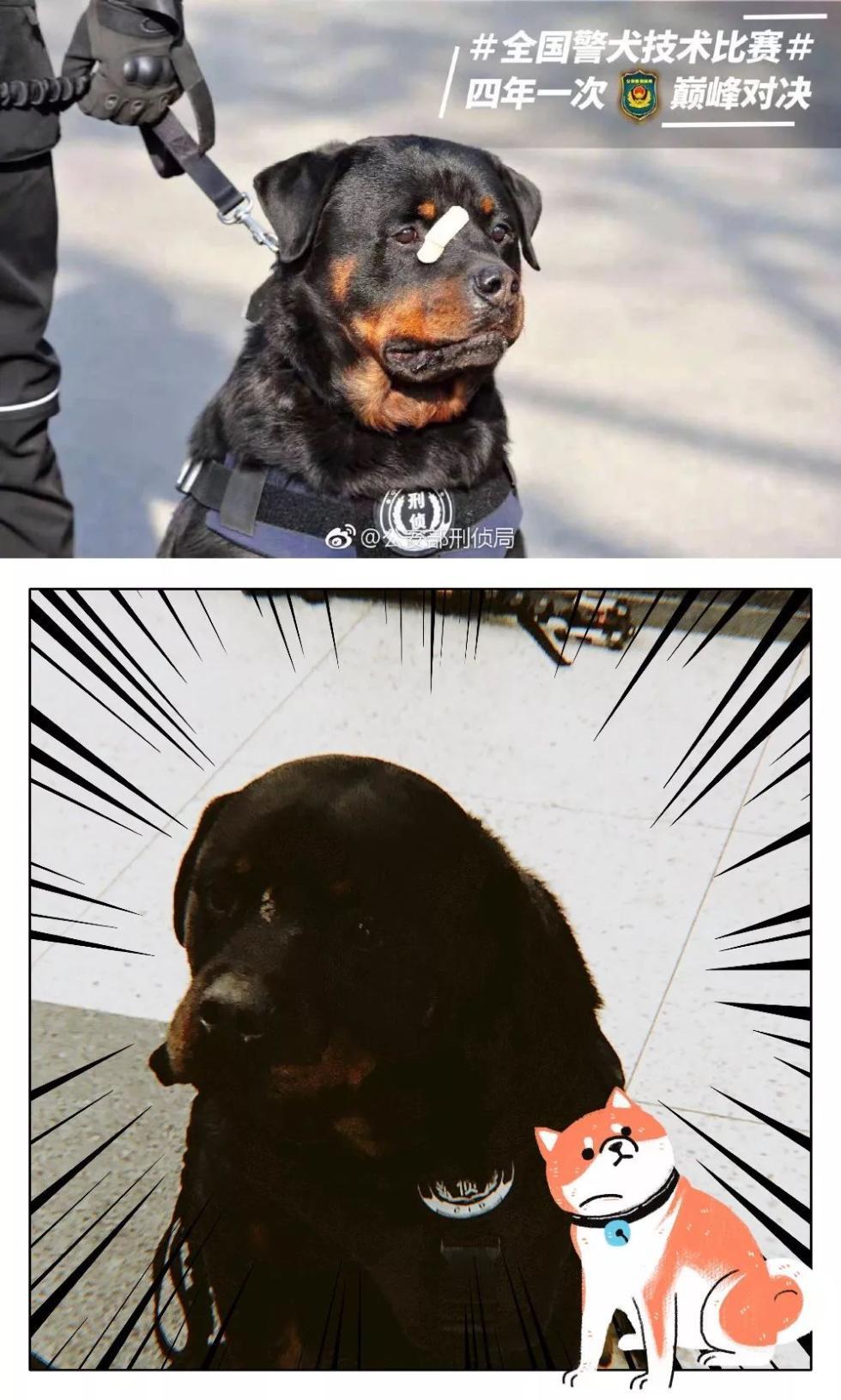 """警犬界的""""奥运会"""" 你见过吗?"""