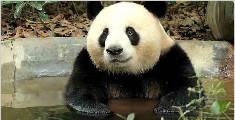 大熊猫泡澡的时候在想些什么