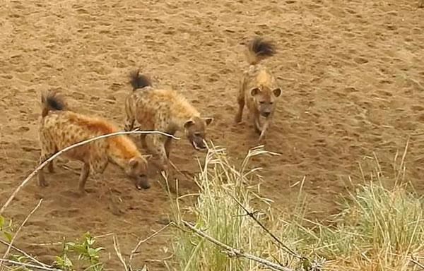 南非母狮遭鬣狗群围困 长啸一声喊来同伴支援