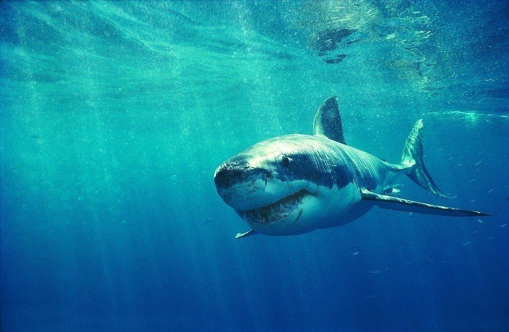 澳大利亚用无人机追踪鲨鱼 可有效预防袭击人类
