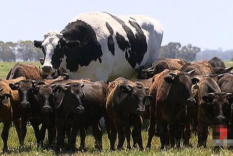 """""""鹤立鸡群""""!澳大块头公牛重1.4吨堪比汽车"""