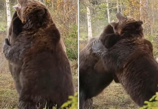 芬兰两棕熊林中激烈打斗 其中一只死咬对手脖子