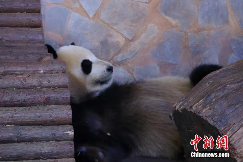 """冬天来吸大熊猫 看""""滚滚""""的各种憨态睡姿"""