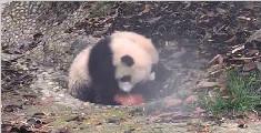 大熊猫修炼抢球技术