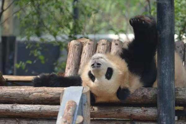 """冬天来""""吸""""大熊猫 看""""滚滚""""的各种憨态睡姿"""