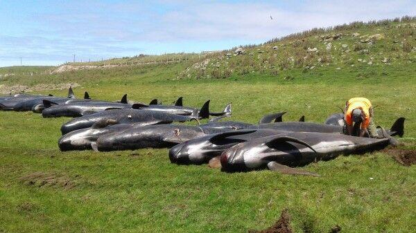 继145头鲸搁浅死亡后 新西兰又有51只领航鲸遭遇不幸