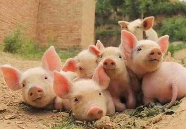 天津市宁河区排查出非洲猪瘟疫情
