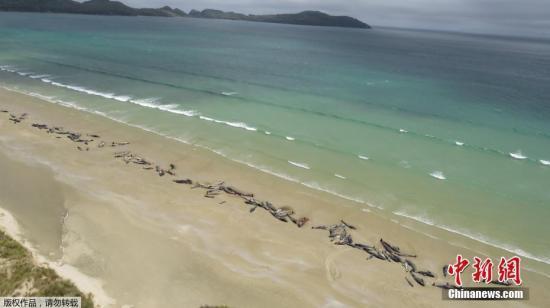 一周内第5起!又有50多头鲸鱼在新西兰搁浅死亡