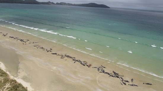 新西兰搁浅的鲸鱼:为什么那么多鲸鱼会搁浅