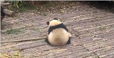 萌萌哒的大熊猫