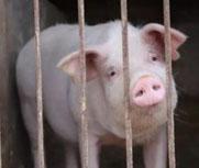 媒体调查非洲猪瘟背后