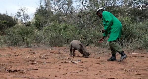 温情!肯尼亚犀牛孤儿学会追逐兴奋不已