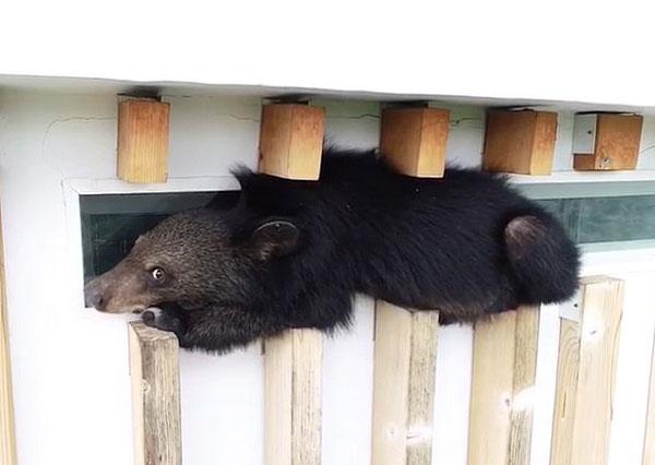"""吃货本性!泰""""熊""""孩子为觅食攀18米高护栏被困"""