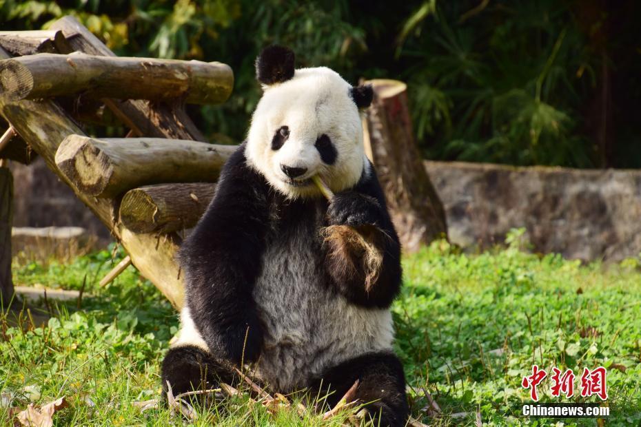 """媒体:海归老龄大熊猫""""高高""""结束隔离检疫与媒体见面"""