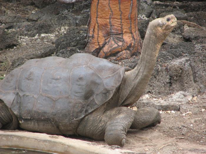 科学家对巨龟进行基因测序 探求长寿的秘密
