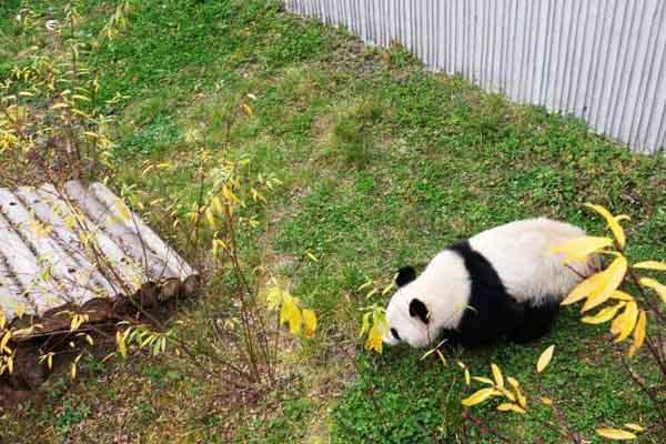 """首对""""海归""""大熊猫双胞胎回到中国大熊猫保护研究中心"""
