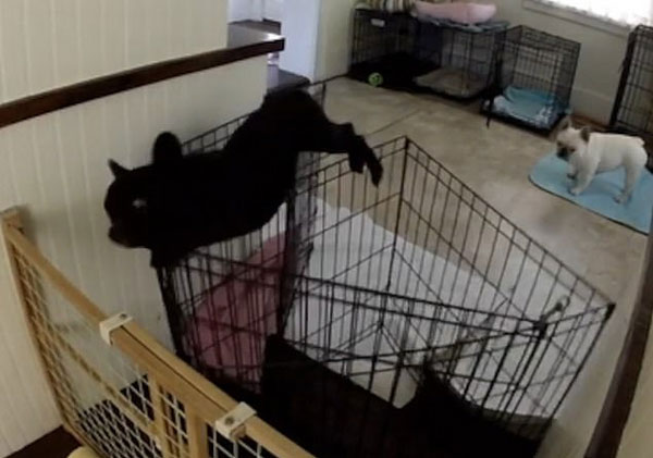 跳高健将!美斗牛犬勇跃一米高护栏获自由
