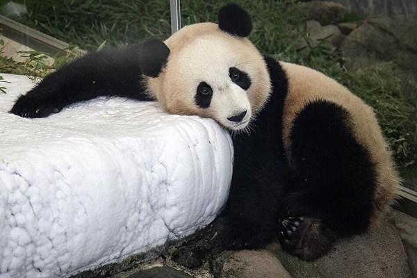 """日本""""冒险大世界""""6只大熊猫收获大批粉丝"""