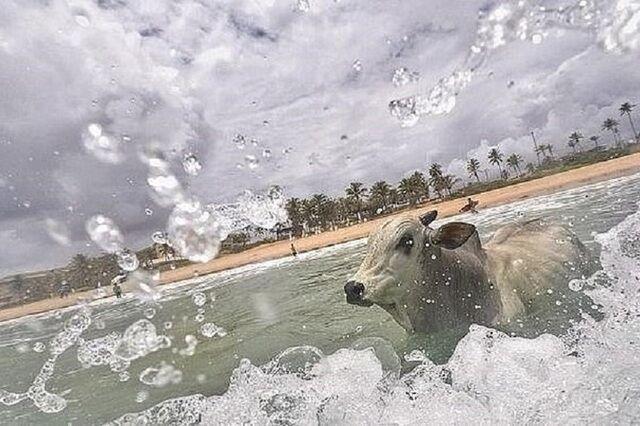 悲!巴西一3岁公牛逃脱屠宰命运 之后直奔入海自杀