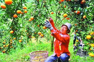 精品果业助农增收