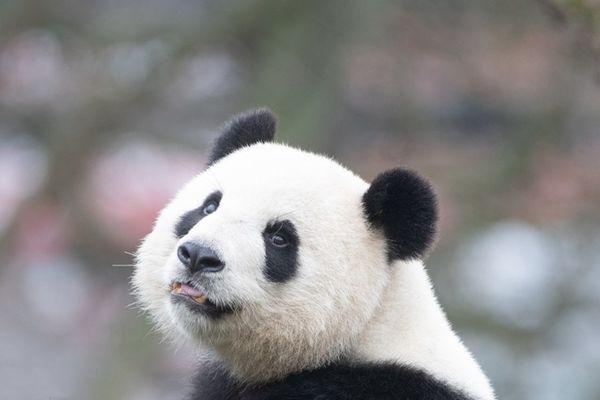 """德动物园小动物悠闲过冬 大熊猫""""梦梦""""回头杀撩游客"""