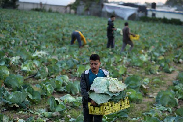 卷心菜丰收季已至!巴勒斯坦农民田间劳作忙