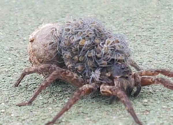 澳女子爬山遇母狼蛛背着数十只小蜘蛛伪装在路旁