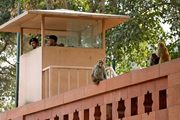 """印度政府大楼被猴子""""占领"""" 曾捉一只奖励50"""