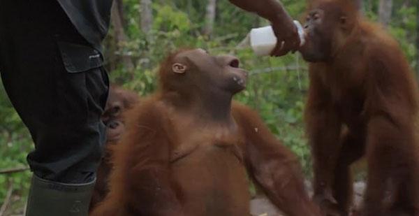 印尼一网红猩猩要牛奶未遂原地打滚撒泼