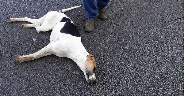 英国猎犬为追狐狸被车撞死引发热议