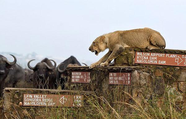 """肯尼亚幼狮遭牛群围攻 吼来母狮成功从""""牛口""""逃生"""