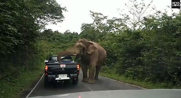 """泰国一饥饿大象当街拦车疯狂""""抢劫""""食物"""
