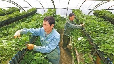 """让""""菜篮子""""更生态 —我区蔬菜种植发展综述 本报记者 李梅英"""