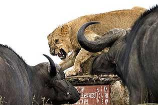 肯尼亚幼狮遭牛群围攻 吼来家人成功逃生