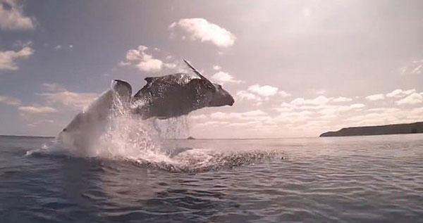 南太平洋小座头鲸冲出海面 腾空飞跃令人惊叹