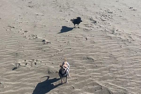 可爱!吉娃娃和乌鸦在沙滩上追逐嬉闹