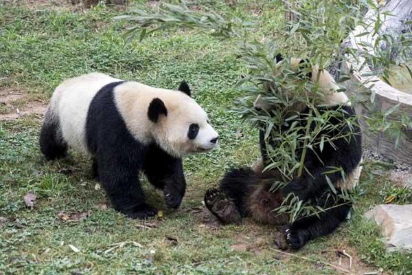 大熊猫:多吃少动 美美过冬