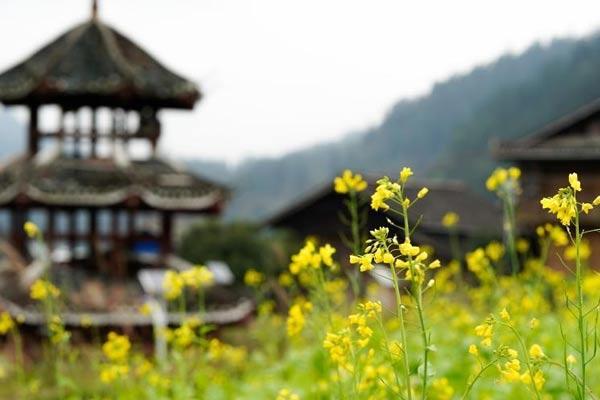 贵州榕江 侗寨油菜花开添暖意