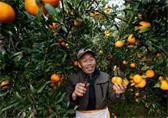 贵州榕江冬来橘子黄 果农喜迎丰收