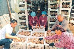 【亮亮咱贫困县的名特产】临县成为全省最大食用菌生产基地县