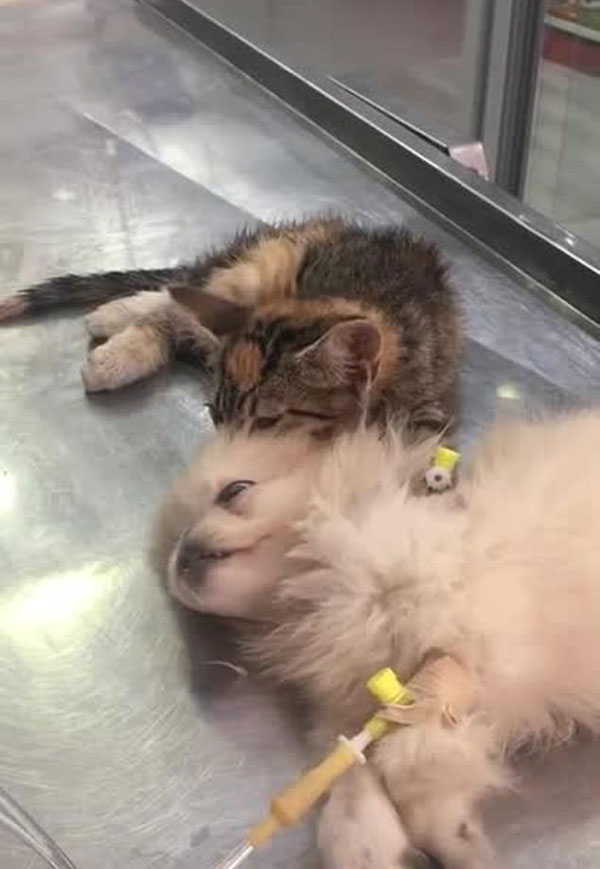 萌化了!小奶猫安慰生病小狗给其做头部按摩