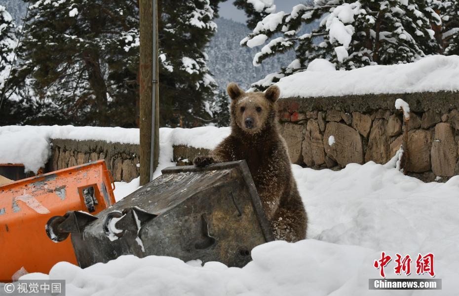 未冬眠小熊闯入居民区翻垃圾桶觅食