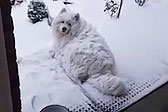 萨摩犬赏雪入迷主人叫不回 变雪球萌化众人