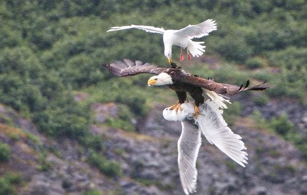 为朋友而战!数只海鸥挑战秃鹰试图爪下救同类