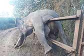 心痛!印大象为觅食翻篱笆 被卡窒息而亡