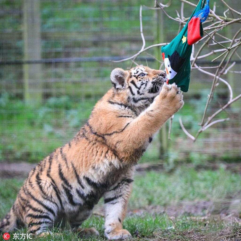 英国动物园提前庆祝圣诞节 可爱动物拆礼物表情超兴奋