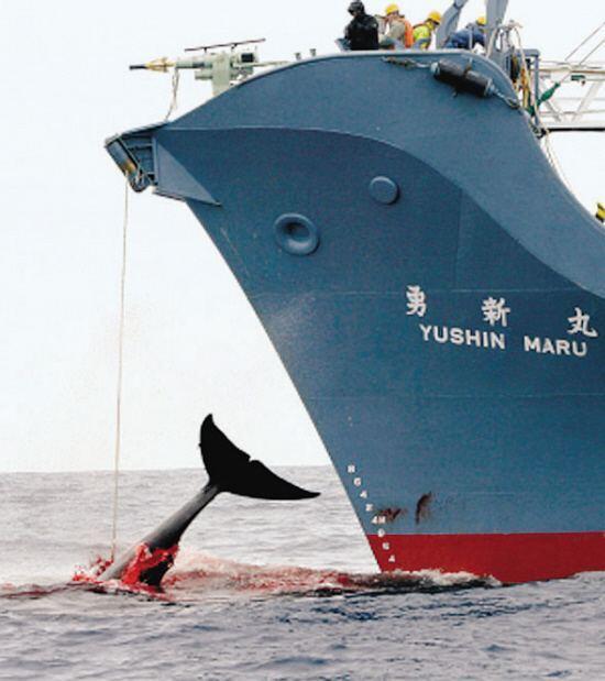 """日本拟退出国际捕鲸委员会重启捕鲸 日媒:要努力消除""""退群""""的负面影响"""